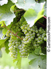 Ripe white Riesling grapes close-up, selective focus