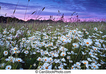 daisy flowers at pink sunset - beautiful daisy flowers at...