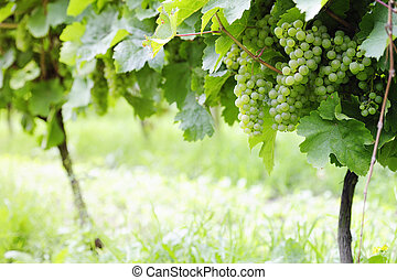 Ripe white Riesling grapes, selective focus