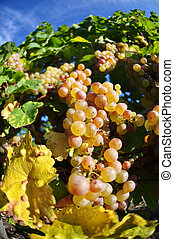pasado, viejo, uvas, vides