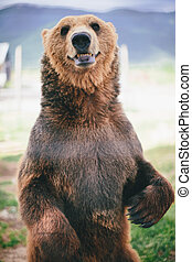 grizzly bear standing  - grizzly bear standing