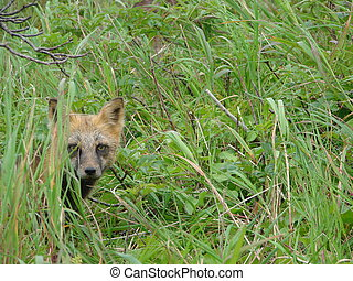 Fox - On August, 11th, 2007. Island Urup. Russia. The small...