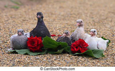 Pigeon Nestlings Birds sitting on sand together with Roses...