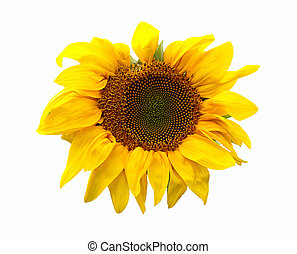 Sunflower plant on white background
