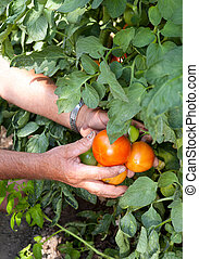 Tomato crop - Hands of a bulgarian farmer showing his tomato...