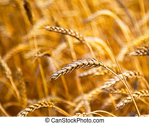cultivation of different varieties of wheat, wheat field -...