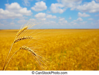 Ripening ears of wheat field in the style of bokeh -...