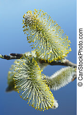 Willow catkins macro - First hairy willow catkins in spring