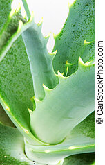 Picture of aloe vera leaves.