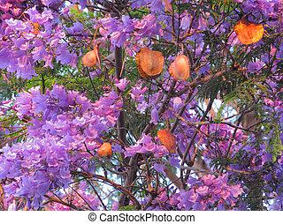jacaranda, Florecer, frutas
