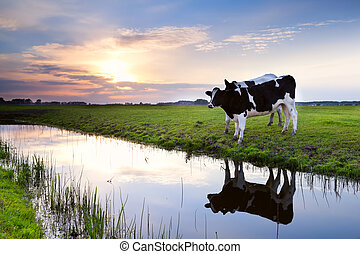 two milk cows by river at sunset - two milk black and white...