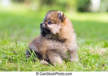 Pomeranian puppy - Tiny Pomeranian puppy sitting in the...