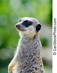 Meercat close-up upright looking alert and ready for danger