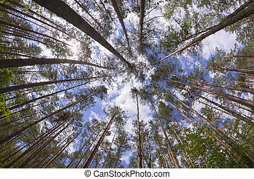 Wide angle view of pine forest with blue sky