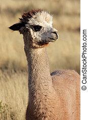 Alpaca Vicugna pacos - Portrait of Alpaca Vicugna pacos,...