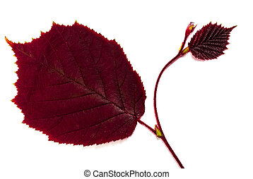 purple leaf of alder, isolated on white
