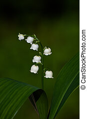 lily of the valley - flowers of lily of the valley in forest