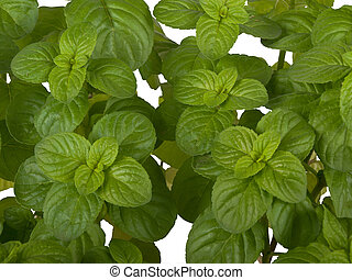 Mentha plant - mentha plant isolated on white background