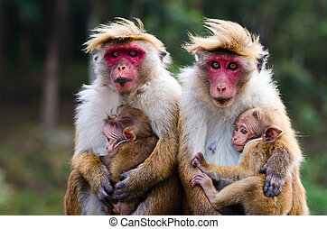 Monkey family with two babies. Red faces macaque (Macaca...