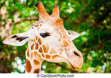 A cute giraffe, Fossil Rim Wildlife Center, Glen Rose,...
