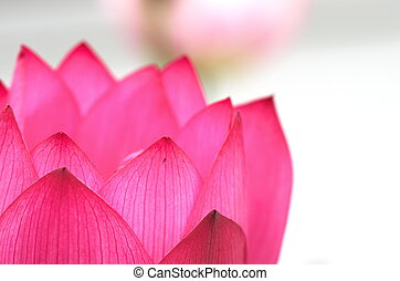 white and pink lotus flower - this photo is taken in Toyota...