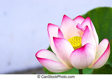 pink and white lotus flower - this photo is taken in Toyota...