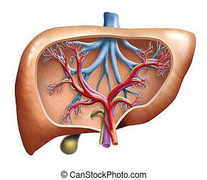 human, fígado