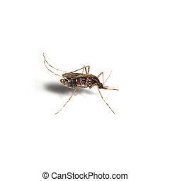 Mosquitoes spawn isolated on white background.