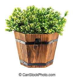 Green boxwood pick in wood bucket isolated on white