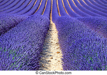 Lavender flower blooming fields in endless rows as a pattern...