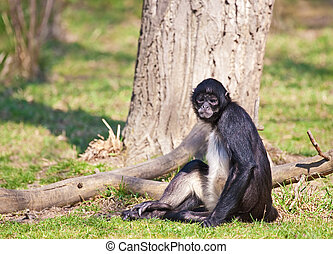 Spider Monkey - Black - handed Spider Monkey. Sort : Ateles...