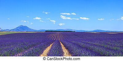 Lavender flower blooming fields in endless rows and trees on...