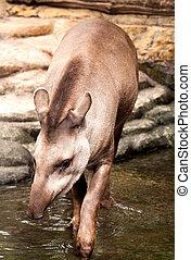 Tapir - Brazilian tapir Lowland tapir Sort : Tapirus...