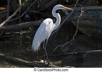 Snowy egret standing in mangrove sw - Snowy egret in...