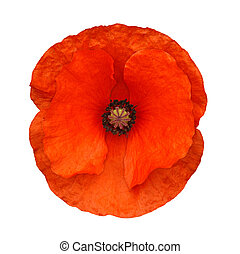 red poppy isolated - The head of a red poppy flower often...