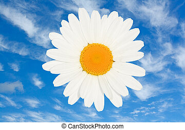 Ox eye daisy flower head isolated - ox eye daisy flower head...