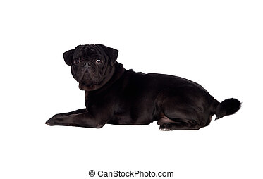 Nice pug dog with black hair isolated on white background