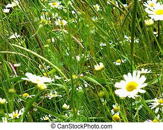 Blumenwiese mit Magariten
