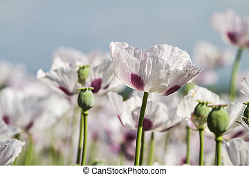 Opium poppy, Papaver somniferum grown for the production of...