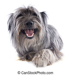 Pyrenean sheepdog - portrait of a pyrenean sheepdog in front...