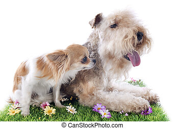 lakeland terrier and chihuahua  in front of white background