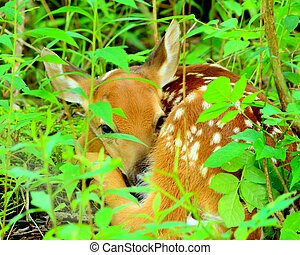 Newborn Whitetail Deer Fawn - A newborn whitetail deer fawn...
