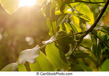 Walnuts at sunset - Walnuts on a branch with a green...