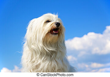 Proud dog - Bred Dog - Havanese sits proudly in front of a...