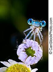 Blue Damselfly ( Enallagma cyathigerum )