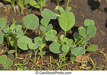 Plants of Fenugreek Foenum-graecum