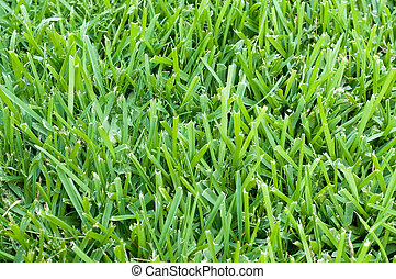 St augustine grass backdrop - Background of saint augustine...