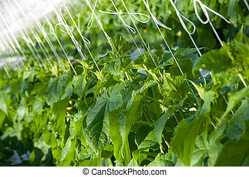 Cucumber plants - A shot of cucumber plants growing inside a...