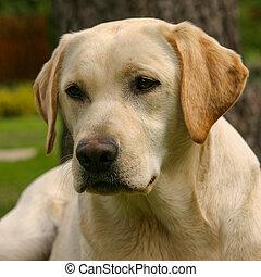 Labrador retriever in the garden - The portrait of young...