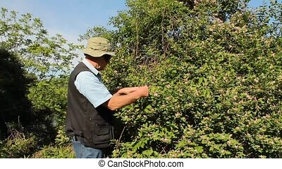 pruning a flowering shrub - man uses a hand clipper to prune...